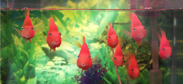 Goldfish swimming in a fishtank