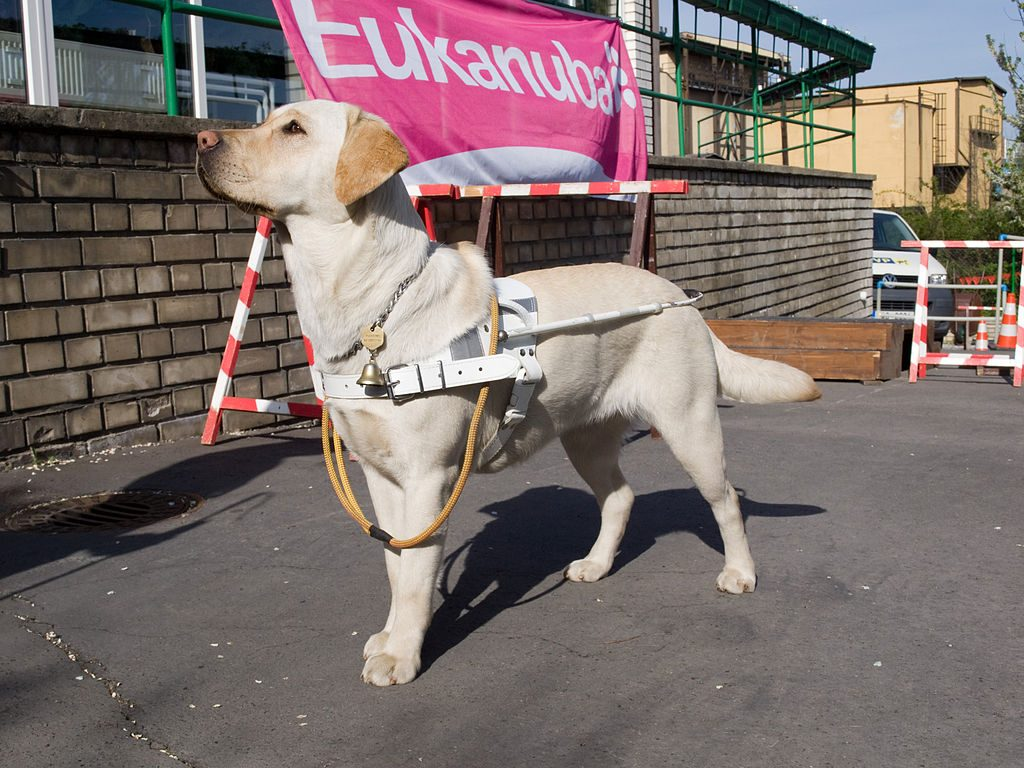 Guide dog wearing a white harness